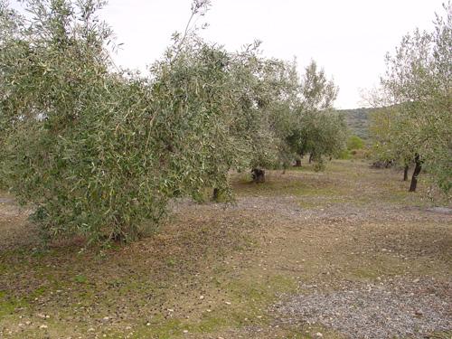 olive yard in november, ready to harvest