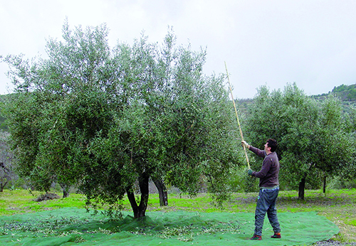 with a long stick we harvest the olive tree