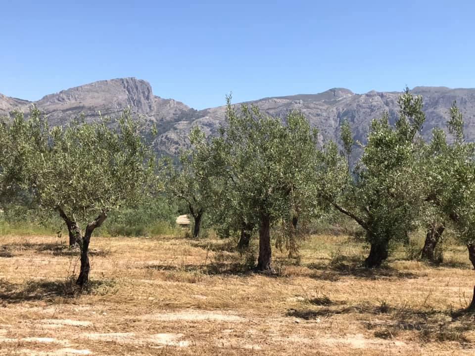 Onze olijfboomgaard in juli 2019